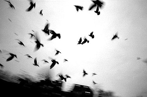 bird, birds, black and white, blur, freedom, photography