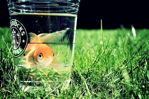 cute, fish, fish starbucks, funny, goldfish, grass, green, hahaaaa, nature, starbucks, starbucks coffee now with goldfi, starbucks cup, starbucks goldfish, water