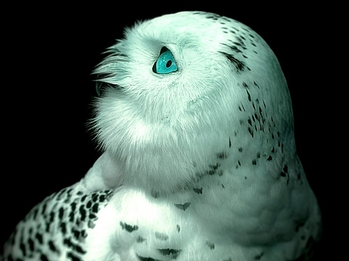 alternate words, animals, bird, blue, eye, mezmerizing, nature, owl, owls, photography, photoshop, thorsten becker, white owl