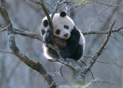 animals, cute, panda, pandas, separate with comma, sleeping