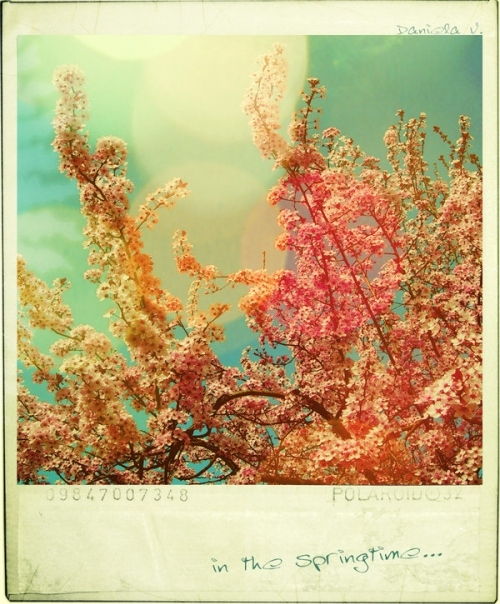 cherry blossoms, colors, colours, flowers, gentle, lense flare