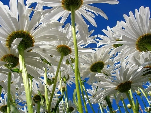 beautiful, blue, daisies, daisy, flower, flowers