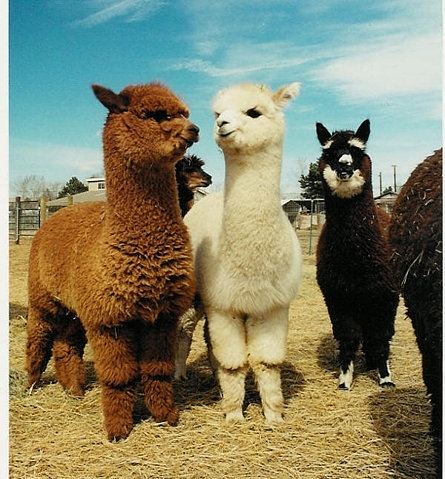 alpaca, animal, animals, cute, fluffy, fur