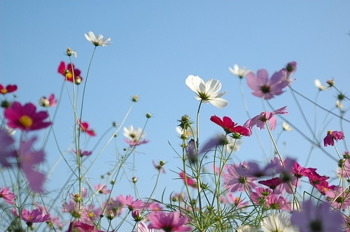 blue sky, cosmos, flower, flowers, nature, photography