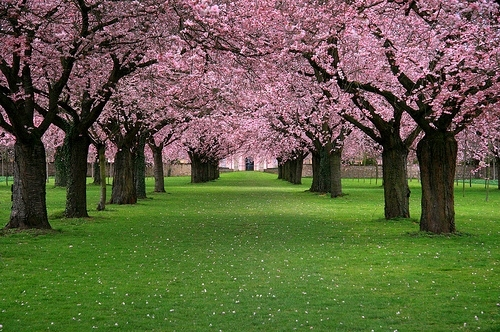 blossom, cherry, flower, grass, green grass, pink, place, trees