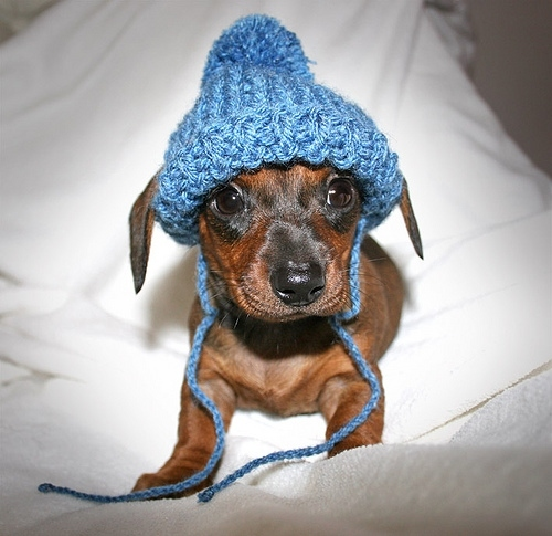 adorable, cute, daschund, dog, hat, knit