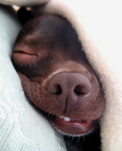 blanket, chihuahua, dog, funny, nose, puppy