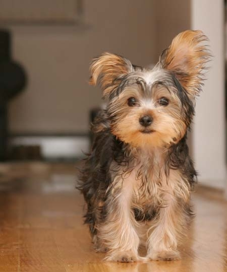 animals, chicle, cute, perrito, puppy, yorkie