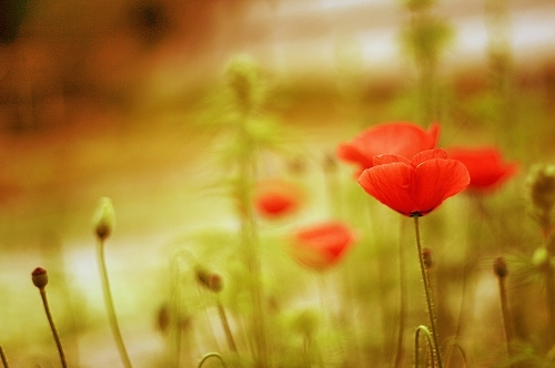 blossom, flower, nature, peaceful, poppy, red