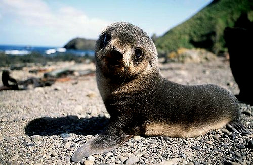 animals, cute, cute animals, cute seal, cuteness, love, lovely, photography, tiny seal