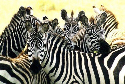 animal, animals, nature, one of a kind, strips, zebra