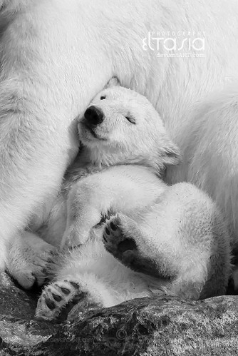 animal, bear, cute, love, photography, polar bear hug, snow, ternura, white