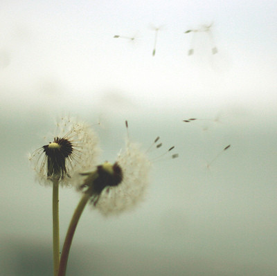 air, blowing, dandelion, dandelions, flew, flight, flower, flowers, nature, photography, plant, seeds