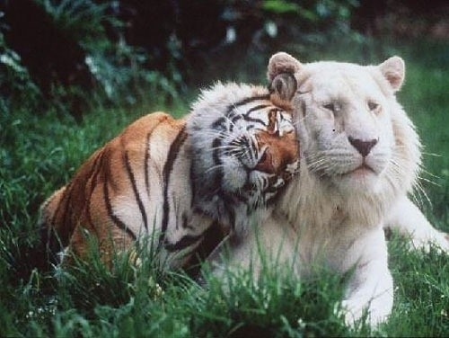 albino, animal, animals, cat, couple, couples