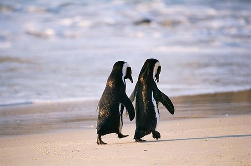 adorable, animals, couple, cute, love, penguin