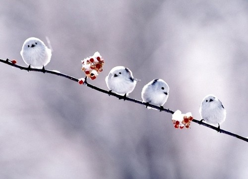 animal, animals, beautiful, berries, bird, birds, branch, branches, color, cute, cuteness, cuties, fluffy, fruit, ice, life, line drawing, nature, photography, pretty, red, snow, white, wildlife, winter