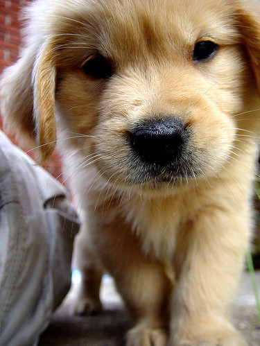 animals, baby, cute, dog, dogs, golden retriever
