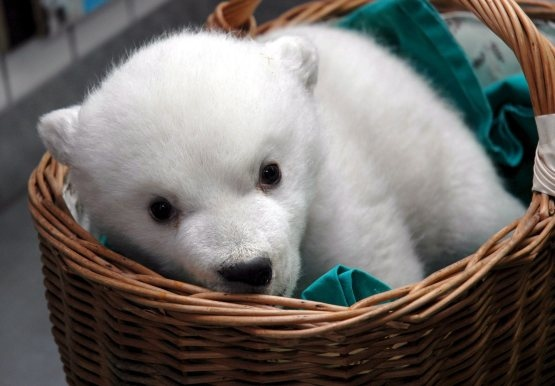 baby, bear, cute, urso polar, white