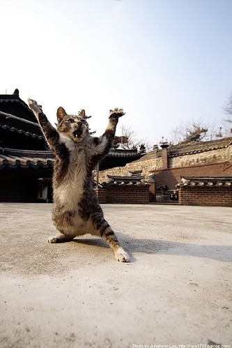 animal, animals, cat, dance, fighter, foto