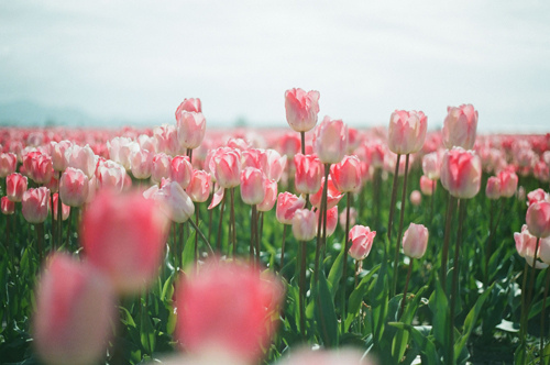 beautiful day, beauty, blue, creation, day, flower, god, green, light, love, pink, sky, spring, tulips, white
