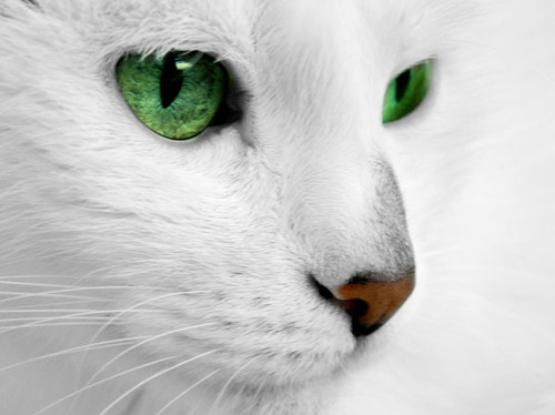 animal, beautiful, beauty, cat, eye, eyes, green, green eyes, nature, photographs, photography, white