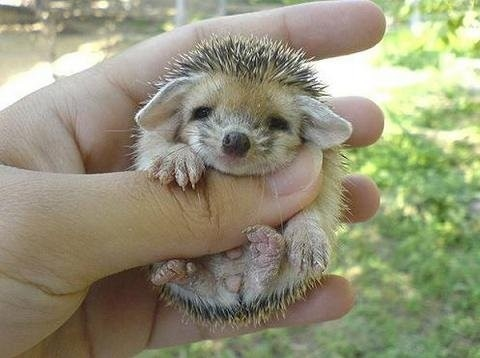 animals, baby animal, fauna, ffffound!, kawaii, photo, porcupine