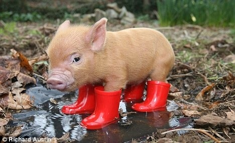 animals, awww, baby, cute, cute piggie rainbooties, funny, humor, photography, pig, piggy, puddle