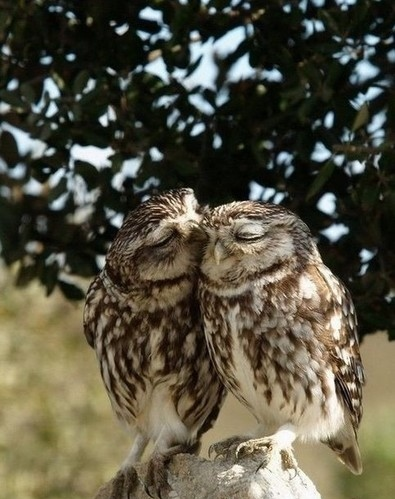 affection photography, animal, animals, birdies, birds, cute, emotion, kiss, love, owl, owls, photo, photography, sweet