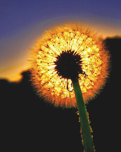 dandelion, dandylion, fire, flower, flowers, light