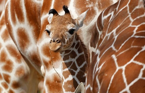 animals, baby giraffe, giraffe, humor, nature, photography