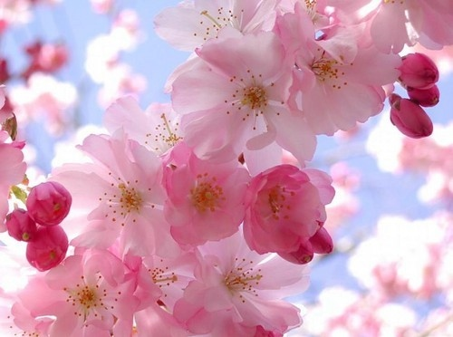 adorable, beautiful, blossom, blue, cherry, cherry blossoms