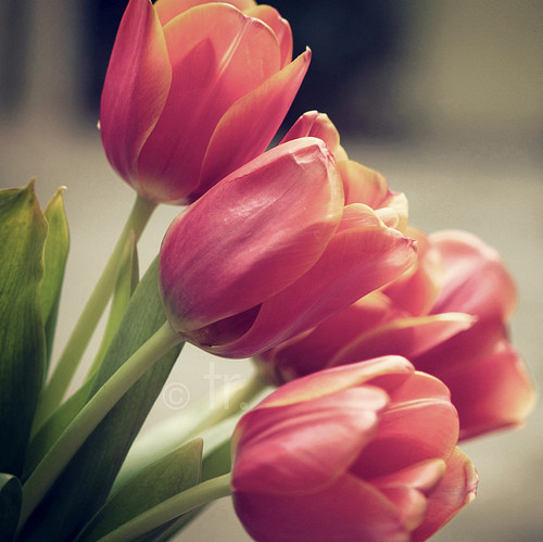flower, flowers, love, nature, pink, tulip