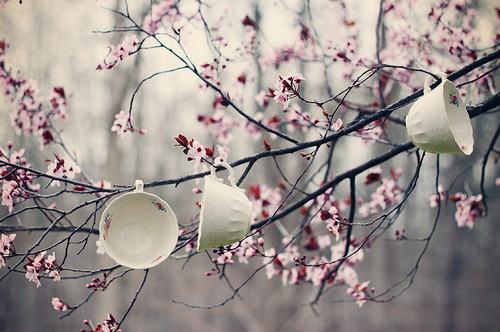 blossom, branches, cherry, cherry blossom, cup, flower