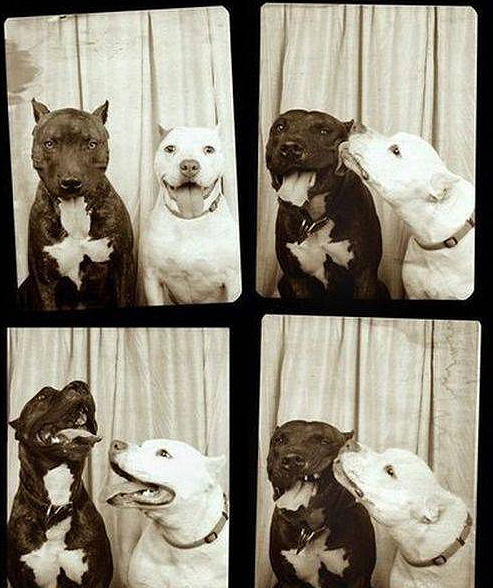 cute, dog, kiss, kissing, kissing booth, pitbull