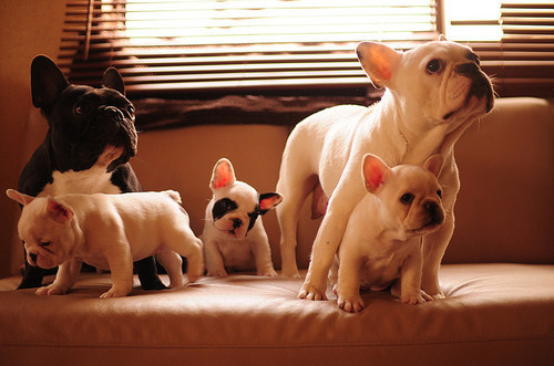 beautiful, bulldog, couch, cute, dog, dogs, french, french bulldog, puppies, puppy, room, summer, sun