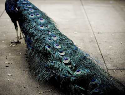 bird, blue, colors, feather, feathers, green