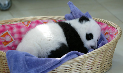 baby panda, basket, blanket, cute, panda, sleeping