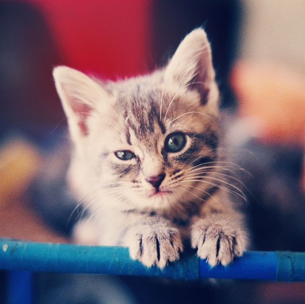 animal, awesome, blue, cat, cute, eyes, gorgeous, ham, kitten, kitty, meow, moustache, pet, photo, photography, pretty, pussy, vintage