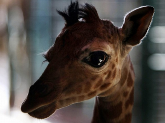 animals, baby, cute, eyes, giraffe, zoo