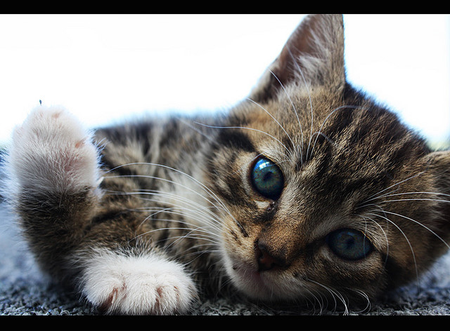 adorable, animal, animals, beautiful, blue eyes, cat