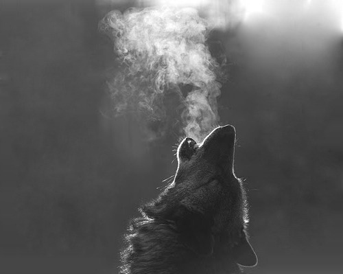 animal, black and white, breath, gray, nature, vapor, wolf