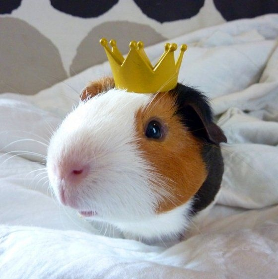 animal, coroa, crown, fotografia, guinea pig, king