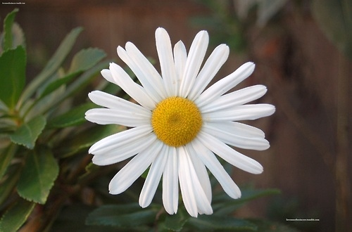 all for you my daisy, beautiful, cute, daisy, flower, garden