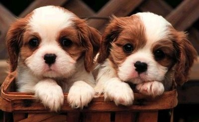 adorable, cavalier king charles spaniel, cute, dogs, puppy, two