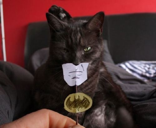 animal, batman, cat, creature, funny, humor