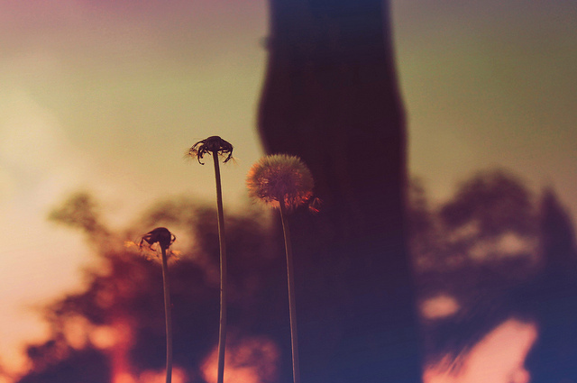 bokeh, dandelions, nature, photograph, photography, pretty