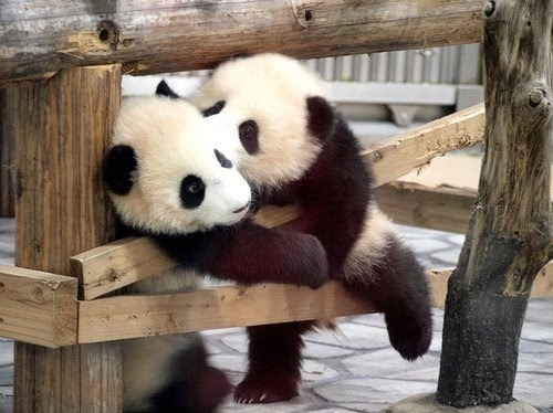 cute, kawaii *.*, kiss, lovely, panda, pandas