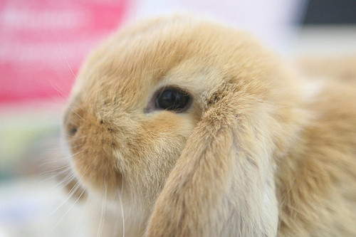 bunny, cute, rabbit, soft, white