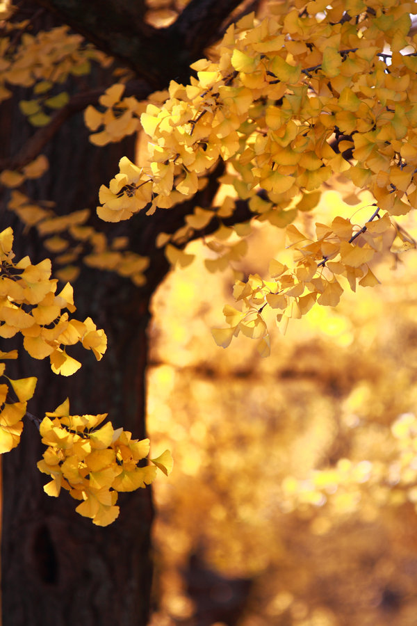 autumn, gold, leaves, nature, photography, tree