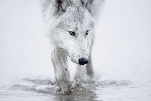 Cute water white wolf wolves